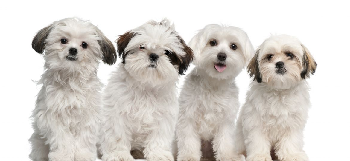 Group of Shih Tzu and Maltese puppy sitting and looking at the camera