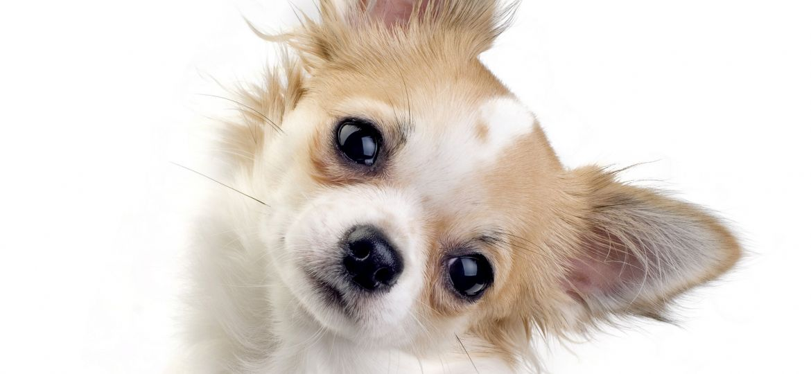 cute chihuahua puppy portrait
