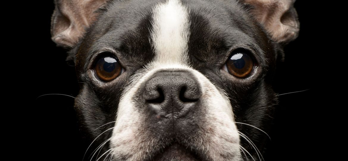 Portrait of an adorable Boston Terrier